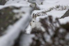Λαγοί βουνών, timidus Lepus, άγριο στην ομάδα και τρέξιμο στο χιόνι το χειμώνα, Φεβρουάριος στο εθνικό πάρκο cairngorms, Σκωτία Στοκ Εικόνα