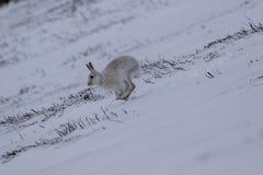 Λαγοί βουνών, timidus Lepus, καθαρισμός, κατανάλωση, που τρέχουν μια ομιχλώδη ημέρα στο χιόνι κατά τη διάρκεια του χειμώνα στο εθ Στοκ εικόνες με δικαίωμα ελεύθερης χρήσης