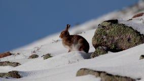 Λαγοί βουνών, timidus Lepus, κατά τη διάρκεια του Οκτωβρίου ακόμα στο θερινό παλτό που περιβάλλεται από το χιόνι στα cairngorms N φιλμ μικρού μήκους