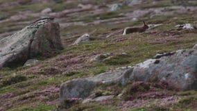 Λαγοί βουνών, timidus Lepus, μεταξύ της πορφυρής ερείκης μολβών σε μια βουνοπλαγιά στα cairngorms NP, Σκωτία κατά τη διάρκεια του απόθεμα βίντεο