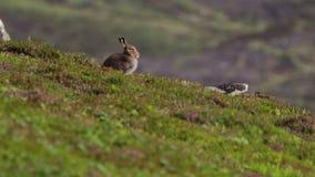 Λαγοί βουνών, timidus Lepus, συνεδρίαση και κοίταγμα γύρω από μια πλευρά λόφων στο εθνικό πάρκο cairngorms κατά τη διάρκεια ενός  απόθεμα βίντεο