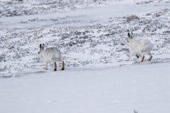 Λαγοί βουνών, timidus Lepus, συνεδρίαση, που τρέχουν μια ηλιόλουστη ημέρα στο χιόνι κατά τη διάρκεια του χειμώνα στο εθνικό πάρκο Στοκ Εικόνα