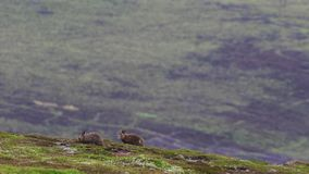 2 λαγοί βουνών, timidus Lepus, τον Ιούλιο που τρέχουν και που ταΐζουν με μια κλίση, cairngorm NP, Σκωτία απόθεμα βίντεο