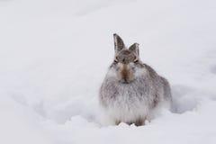 Λαγοί Lepus Timidus βουνών Στοκ εικόνα με δικαίωμα ελεύθερης χρήσης