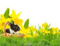 Λαγουδάκι Πάσχας στο λιβάδι Πάσχας με τα daffodils Στοκ Εικόνα
