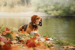 Λαγωνικό σκυλιών που περπατά στο πάρκο φθινοπώρου Στοκ φωτογραφίες με δικαίωμα ελεύθερης χρήσης