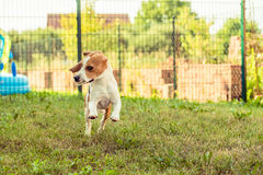 Λαγωνικό σκυλιών τρεξίματος Στοκ Εικόνα