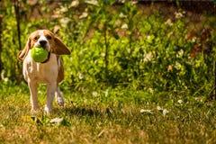 Λαγωνικό σκυλιών τρεξίματος Στοκ φωτογραφίες με δικαίωμα ελεύθερης χρήσης