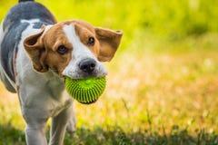 Λαγωνικό σκυλιών τρεξίματος Στοκ Φωτογραφία