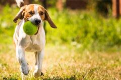 Λαγωνικό σκυλιών τρεξίματος Στοκ Φωτογραφίες