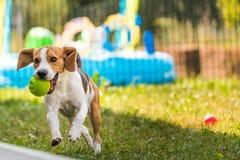 Λαγωνικό σκυλιών τρεξίματος Στοκ εικόνα με δικαίωμα ελεύθερης χρήσης