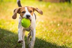 Λαγωνικό σκυλιών τρεξίματος Στοκ εικόνες με δικαίωμα ελεύθερης χρήσης