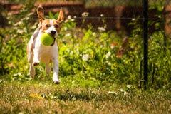 Λαγωνικό σκυλιών τρεξίματος Στοκ φωτογραφία με δικαίωμα ελεύθερης χρήσης