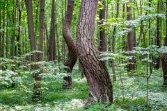 Λαμπιρίζοντας πεύκα στο δάσος πόλεων Kaluga μνημείων φύσης στοκ εικόνα