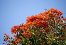 Λαμπρά άνθη δέντρου δυτικής του αυστραλιανού ερυθρού ανθίζοντας γόμμας ficifolia ευκαλύπτων στις αρχές του καλοκαιριού Στοκ εικόνα με δικαίωμα ελεύθερης χρήσης