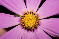 Λαμπρά ιώδες λουλούδι με τα μακριά πέταλα, όπως μια μαργαρίτα Σε μια σκοτεινή ανασκόπηση Μακροεντολή Στοκ εικόνες με δικαίωμα ελεύθερης χρήσης