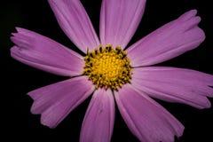 Λαμπρά ιώδες λουλούδι με τα μακριά πέταλα, όπως μια μαργαρίτα Σε μια σκοτεινή ανασκόπηση Μακροεντολή Στοκ Φωτογραφία