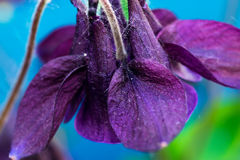 Λαμπρά ιώδες λουλούδι στο ζωηρόχρωμο υπόβαθρο Μακροεντολή Στοκ Φωτογραφίες