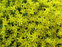 Λαμπρά κίτρινο ομοιογενές floral υπόβαθρο μέρη του στρέμματος Sedum florets-αστεριών στοκ φωτογραφία