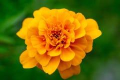 Λαμπρά κίτρινο marigold λουλούδι σε ένα πράσινο υπόβαθρο Μακροεντολή Στοκ εικόνες με δικαίωμα ελεύθερης χρήσης