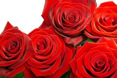 Λαμπρά κόκκινα τριαντάφυλλα Στοκ Φωτογραφία