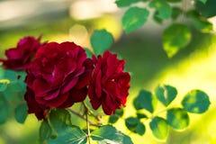 Λαμπρά κόκκινα τριαντάφυλλα Στοκ Φωτογραφίες