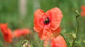 Λαμπρά κόκκινο κοινό λουλούδι παπαρουνών φιλμ μικρού μήκους