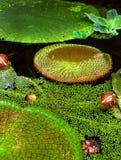 Λαμπρά πράσινα μαξιλάρια κρίνων Στοκ εικόνα με δικαίωμα ελεύθερης χρήσης
