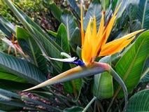 Λαμπρά χρωματισμένο λουλούδι πουλιών του παραδείσου Στοκ φωτογραφία με δικαίωμα ελεύθερης χρήσης