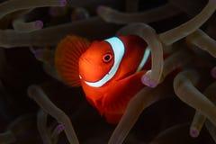 Λαμπρά χρωματισμένο Spinecheek Anemonefish στην Ινδονησία Στοκ Εικόνες