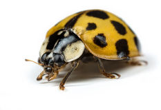 Λαμπρίτσα ή Ladybug Στοκ εικόνα με δικαίωμα ελεύθερης χρήσης