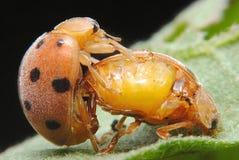 Λαμπρίτσα 2 εντόμων στοκ εικόνα