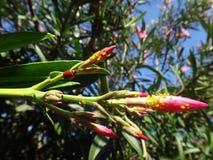 Λαμπρίτσα και αφίδιο nerium στις εγκαταστάσεις oleander Στοκ Εικόνες