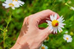 Λαμπρίτσα camomile στο αρσενικό χέρι Στοκ φωτογραφία με δικαίωμα ελεύθερης χρήσης