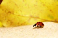 Λαμπρίτσα Ladybug στην άνοιξη φύσης χεριών Στοκ Εικόνες