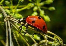 Λαμπρίτσα Ladybug στοκ φωτογραφίες με δικαίωμα ελεύθερης χρήσης