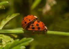 Λαμπρίτσες ladybugs στοκ φωτογραφία με δικαίωμα ελεύθερης χρήσης