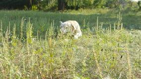 Λαμπραντόρ ή χρυσό retriever που τρώει το ξύλινο ραβδί υπαίθριο Ζωικός μασήστε και δαγκώνοντας ένα ραβδί στη φύση Σκυλί που παίζε απόθεμα βίντεο
