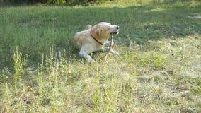 Λαμπραντόρ ή χρυσό retriver που τρώει το ξύλινο ραβδί υπαίθριο Ζωικός μασήστε και δαγκώνοντας ένα ραβδί στη φύση Σκυλί που παίζει φιλμ μικρού μήκους