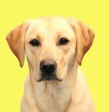 Λαμπραντόρ κίτρινο Στοκ εικόνες με δικαίωμα ελεύθερης χρήσης