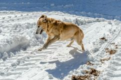 Λαμπραντόρ - παιχνίδι σκυλιών μιγμάτων στο χιόνι στοκ φωτογραφία