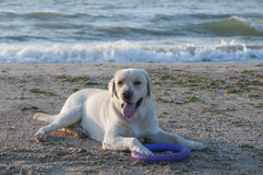 Λαμπραντόρ Retreiver στην παραλία στοκ εικόνες