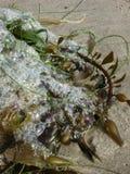 Λαμπρός αφρός φυσαλίδων που πιάνεται kelp στην παραλία Στοκ Φωτογραφίες