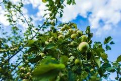 Λαμπρότητες Ð ¡ των μήλων Στοκ Φωτογραφίες