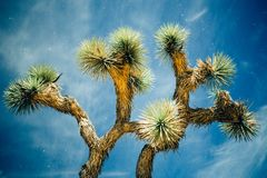 Λαμπρό δέντρο του Joshua τη νύχτα Στοκ φωτογραφίες με δικαίωμα ελεύθερης χρήσης