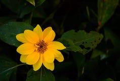Λαμπρό κίτρινο άγριο υπόβαθρο φυλλώματος λουλουδιών πράσινο Στοκ φωτογραφίες με δικαίωμα ελεύθερης χρήσης