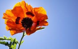 Λαμπρό πορτοκαλί λουλούδι παπαρουνών με την ηλιοφάνεια Στοκ Εικόνα