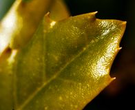 Λαμπρό φύλλο Spikey Στοκ Φωτογραφία