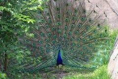 Λαμπρό Peacock στην πλήρη επίδειξη Στοκ Φωτογραφία