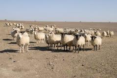 λασπώδη πρόβατα Σάσσεξ λι&bet Στοκ Φωτογραφίες